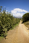Apple Orchards at Melsetter Trust Estate; South Africa