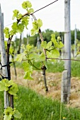 Vineyard Vines; France