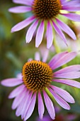 Purpur-Sonnenhut, blühend
