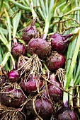 Freshly Harvested Organic Red Onions