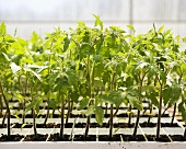 Young Organic Tomato Plants in Containers