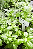Basil Plants for Sale; Price Sign