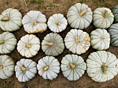 White Pumpkins in Rows; Outdoors; From Above