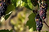 Glenora Grapes on the Vine