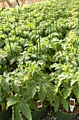 Many Young Tomato Plants in Pots