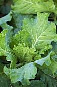 Broccoli Plant Growing in an Organic Garden