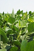 Soybean Plants in a Field in Southeast Missouri