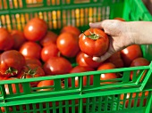 Hand Selecting a Tomato from a Green Crate at a Farmer's Market in Seattle Washington