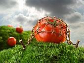 Tomate unter Netz auf Grashügel bei aufziehendem Gewitter