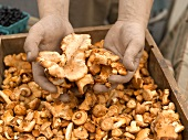 Hands Holding Mushrooms Over a Bin at a Farmer's Market in Seattle Washington