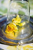 Yellow roses under a glass