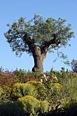 Knorriger Olivenbaum in Mediterraner Landschaft