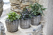 Three flowerpots of sage