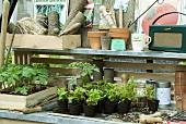 Ein altes Radio, Pflanzen und Pflanzentöpfe, Gartenwerkzeuge auf Regalen im Gewächshaus