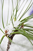 A pine sprig in the snow