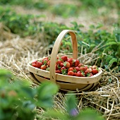 Basket of freshly picked strawberries in strawberry field