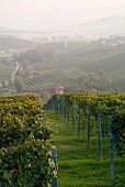 Vineyards below La Morra, Piedmont, Italy