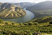 Landscape of vines, Pinhao, Alto Douro, Portugal