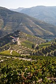Terraced vineyards, Quinta do Crasto, Douro, Portugal