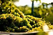 Picking white wine grapes, variety Grüner Veltliner