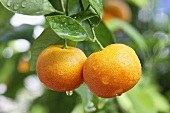 Wet clementines on a tree