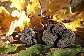 Schwarze Trüffelpilze mit Eichenblättern