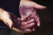 Red wine stained hands of a wine grower