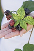 A hand holding blackberries with leaves