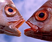 Two fish heads