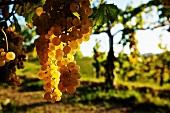Ribolla gialla grapes, Solvenia