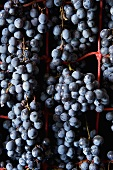 Grapes drying for Amarone wine