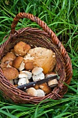 Freshly picked porcini mushrooms in a basket in a field