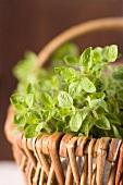 A basket of oregano