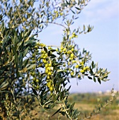 Olives hanging on the tree