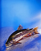 Brook trout on blue background