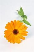 Eine Ringelblume (bot. Calendula officinalis)