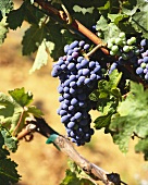 Merlot grapes on the vine, S. Africa