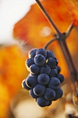 Pinot noir grapes, Burgundy, France