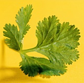 Coriander against a yellow background