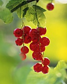 Redcurrants hanging on the bush