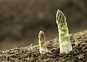 Two green asparagus tips (close-up)