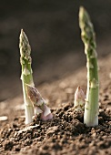 Two tips and two spears of green asparagus (close-up)