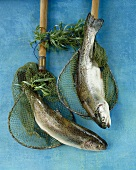 Two fresh trout in fishing nets
