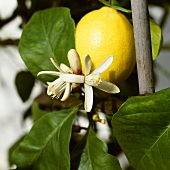 Lemons with flowers on the tree (Citrus limon)