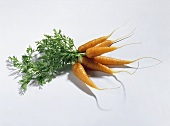 Carrots (Daucus carota ssp. sativus), in a bunch