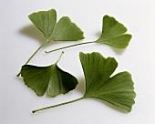 Ginkgo leaves (Ginkgo biloba)