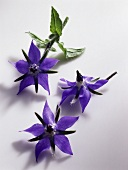 Borage flowers (Borago officinalis), blue