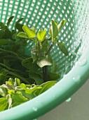 Fresh thyme in kitchen strainer