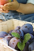 Fresh plums in a basket, child in background