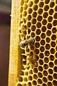 Honeycomb with bee